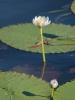 белый лотус (Австралия)