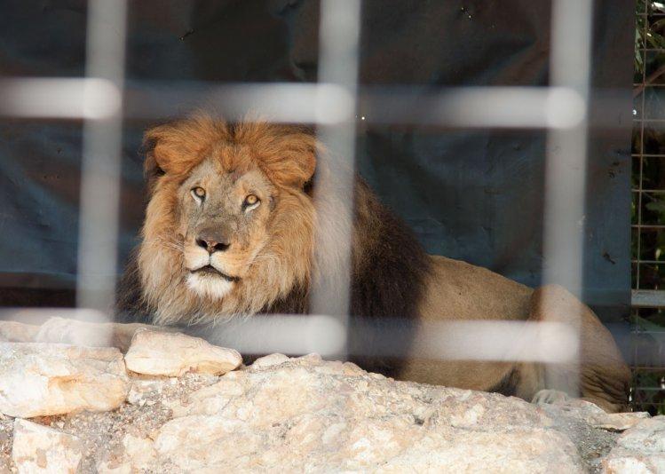 лева в клетке