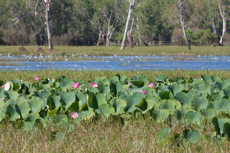 лотусы в Kakadu NP