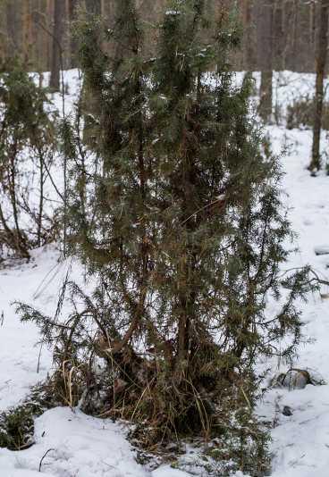 можжевельник обыкновенный (Мещерский край, январь 2014)