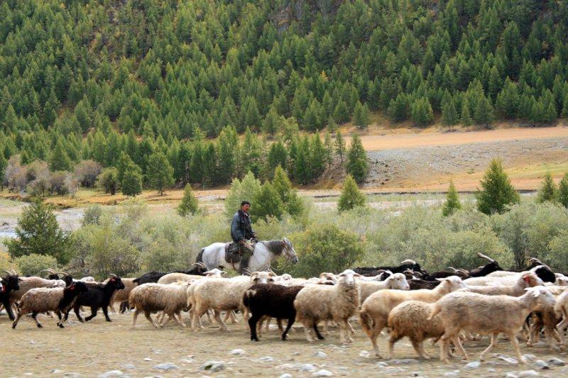 Пастух зорко следит за стадом