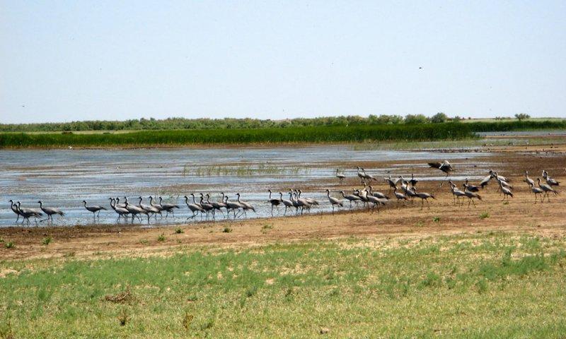 Журавли-красавки чинно гуляют вдоль озера