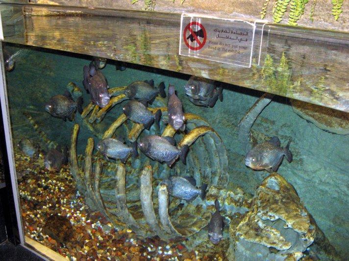 пираньи (аквариум в Dubai mall)