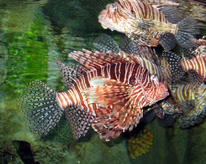 рыба (аквариум в Dubai mall)