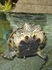 черепаха (аквариум в Dubai mall)